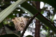 Farfalla tropicale del memnon vicino di caligo fotografia stock