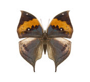 Farfalla tropicale di Kallima Immagini Stock