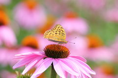 Farfalla tropicale e fiore rosa del cono Immagini Stock Libere da Diritti
