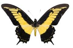 Farfalla tropicale gialla Immagine Stock