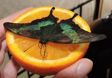 Farfalla tropicale su un'arancia Immagine Stock Libera da Diritti