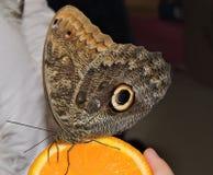 Farfalla tropicale su un'arancia immagini stock