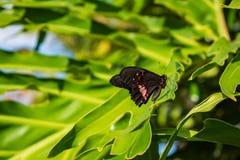 Farfalla in una foglia verde fotografie stock libere da diritti
