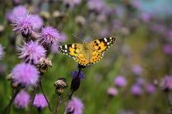 Farfalla Vanessa Cardui sul fiore del cardo selvatico Fotografie Stock
