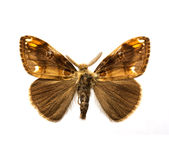Farfalla - Vapourer limitato Immagine Stock