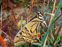 Farfalla variopinta Immagini Stock Libere da Diritti