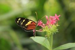 Farfalla variopinta Immagini Stock