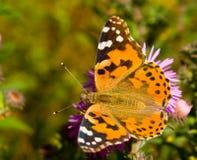 Farfalla variopinta di cardui di Vanessa Immagini Stock