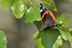 Farfalla variopinta, dipinta Nero, rosso, bianco Fotografia Stock