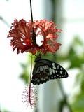 Farfalla variopinta sul hibiscus rosa sinensis, hibiscus schizopetalus fotografia stock