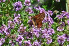 Farfalla variopinta sulle erbe di un fiore buone per tè fotografie stock