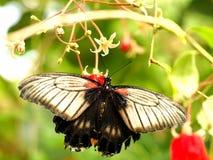 Farfalla variopinta tropicale Fotografia Stock Libera da Diritti
