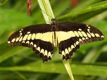 Farfalla variopinta tropicale Fotografia Stock