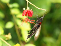 Farfalla variopinta tropicale Immagini Stock