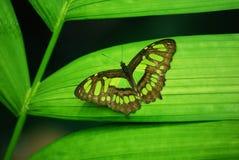 Farfalla verde Fotografie Stock Libere da Diritti