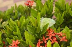 Farfalla verde Fotografie Stock