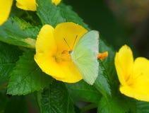 Farfalla verde chiaro di colore su un fiore di fioritura giallo vivo Immagine Stock Libera da Diritti