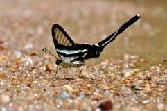 Farfalla verde del dragontail Fotografia Stock Libera da Diritti