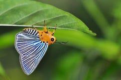 Farfalla verde del punteruolo di Plotz Immagini Stock Libere da Diritti