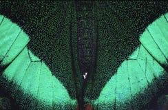 Farfalla verde e nera immagine stock