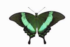 Farfalla verde smeraldo di Swallowtail Fotografia Stock