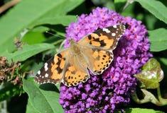 Farfalla verniciata 2 della signora Fotografie Stock