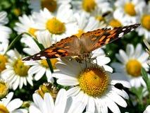 Farfalla verniciata americana della signora fotografia stock libera da diritti
