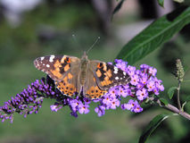 Farfalla verniciata della signora Fotografie Stock