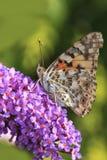 farfalla verniciata della signora Fotografie Stock Libere da Diritti