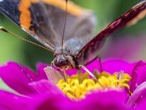 farfalla verniciata della signora Immagine Stock Libera da Diritti