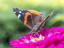 farfalla verniciata della signora Fotografia Stock