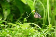 Farfalla vetrosa blu appollaiata su un fiore, Zamami, Okinawa della tigre immagine stock libera da diritti
