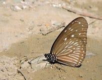 Farfalla vetrosa della tigre fotografie stock