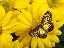 Farfalla vetrosa gialla della tigre Fotografia Stock