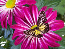 Farfalla vetrosa gialla della tigre Immagini Stock Libere da Diritti