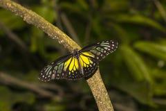 Farfalla vetrosa gialla della tigre, aspasia di Parantica immagine stock