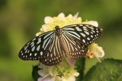 Farfalla vetrosa scura della tigre (agleoides di Parantica) Immagine Stock