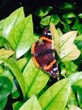 Farfalla vibrante Immagine Stock