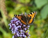 Farfalla vibrante su un fiore viola Immagini Stock