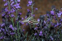 Farfalla vicino ai fiori viola Immagine Stock