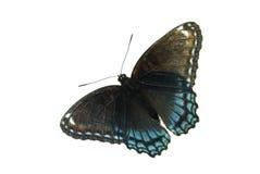 Farfalla viola macchiata rossa Immagine Stock