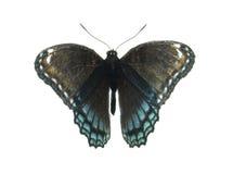 Farfalla viola macchiata rossa Fotografia Stock Libera da Diritti