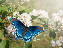 Farfalla viola macchiata rossa dell'ammiraglio Fotografie Stock