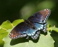 farfalla viola Rosso-macchiata fotografia stock