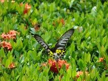Farfalla in volo Immagini Stock Libere da Diritti