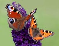 Farfalle Fotografia Stock Libera da Diritti