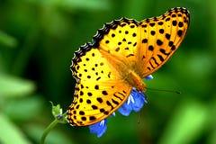 farfalle immagine stock