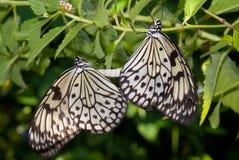 Farfalle accoppiamento immagini stock