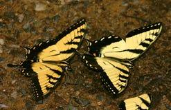 Farfalle accoppiamento Immagine Stock Libera da Diritti