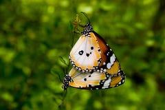 Farfalle accoppiamento Fotografie Stock